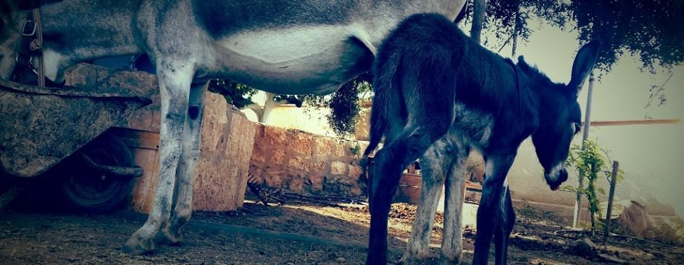 Raspotin jericho donkey palestine auberginn guesthouse